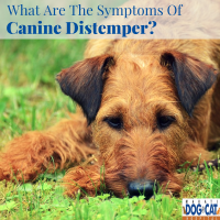 What Are The Symptoms Of Canine Distemper?