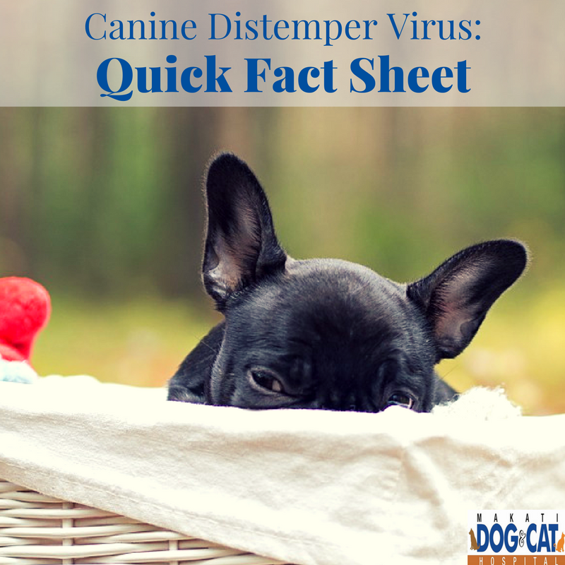 canine distemper infection in cats