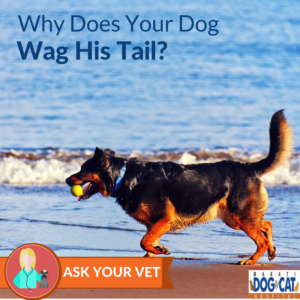 Why Does Your Dog Wag His Tail?