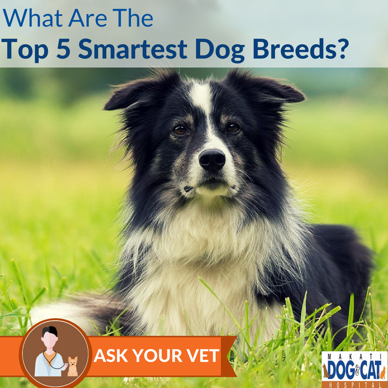 top 5 smartest dog breeds